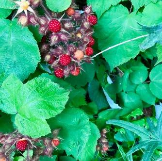 berryvine